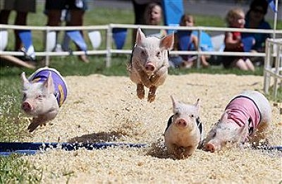 fair pig races