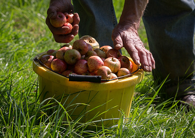 Cider Makers Expecting Bumper Apple Crop This Autumn